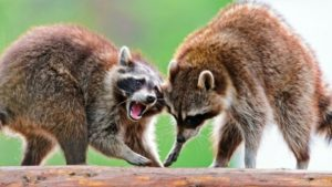 two raccoons playing